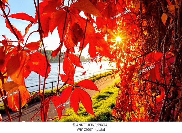 Backlit Red Vine Leaves