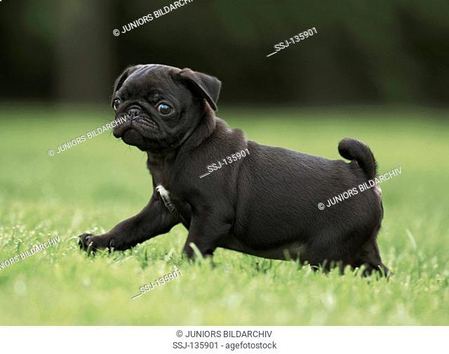 pug - puppy walking on meadow restrictions: Tierratgeber-Bücher / animal guidebooks