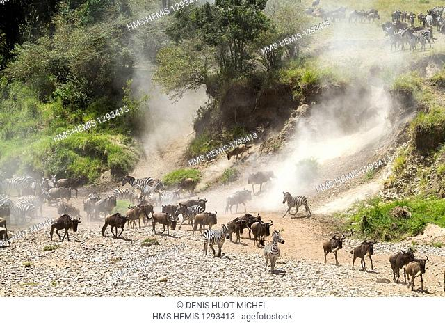 Kenya, Masai Mara national reserve, wildebeest (Connochaetes taurinus), Migration, crossing the Talek river with zebras