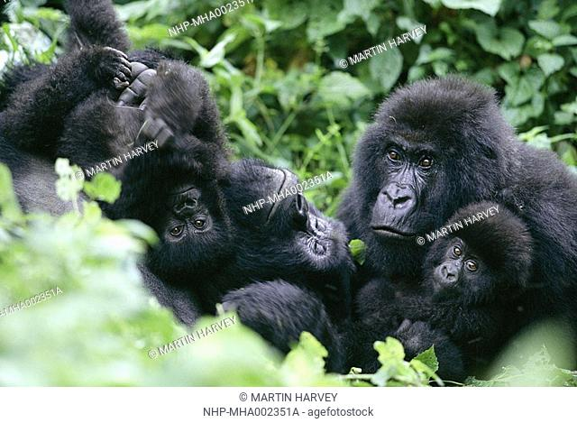 MOUNTAIN GORILLA Gorilla beringei beringei with silverback in family group