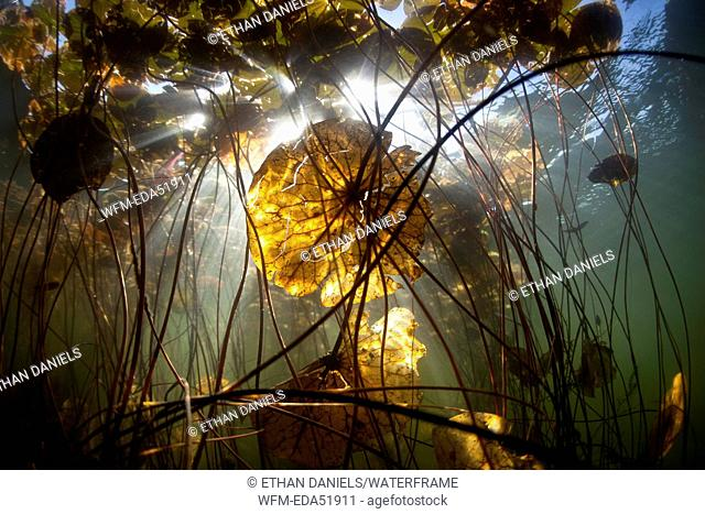 Stalk and Leafs of Water Lily, Nymphaea, Massachusetts, Cape Cod, USA