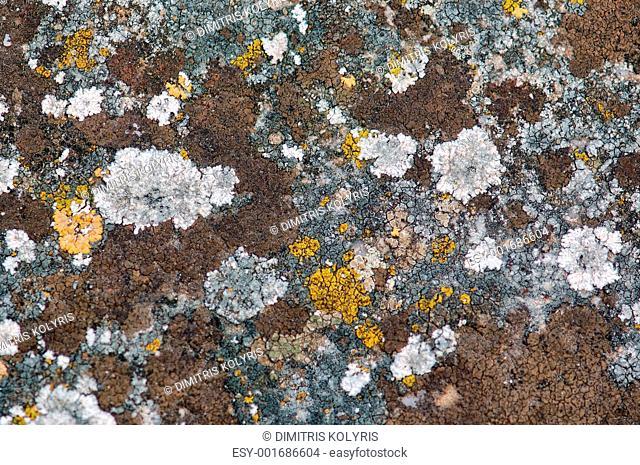 stone fungus