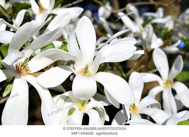 Kobus magnolia Magnolia kobus