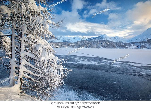 Snowy trees on the shore of the frozen Lake Sils Upper Engadine Canton of Grisons Switzerland Europe