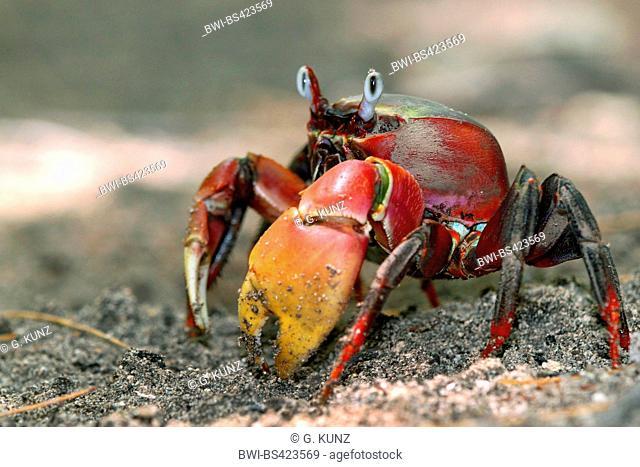 Blue Land crab (Cardisoma carnifex), on sandy ground, Seychelles