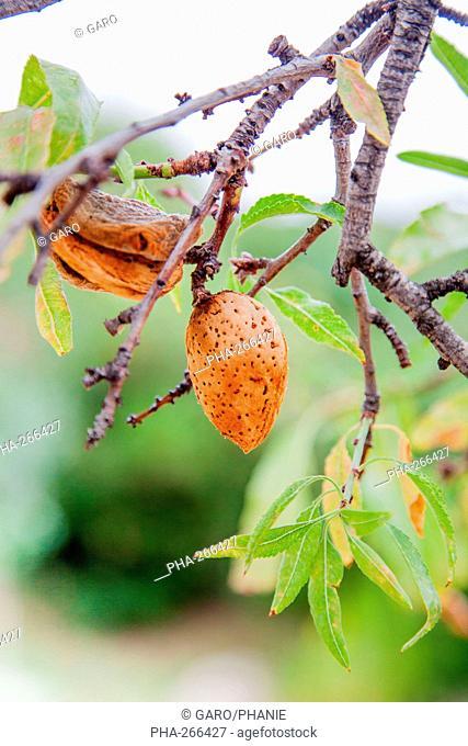 Mature almond fruits hanging on an almond tree Prunus amygdalus
