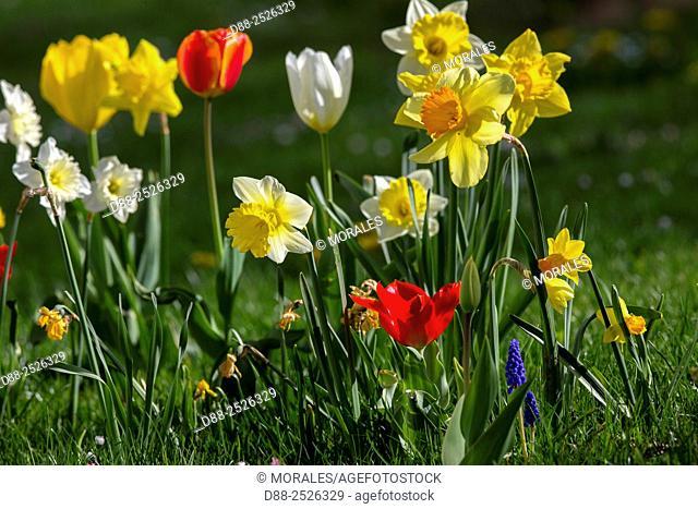 France, Bas Rhin, Obernai, Jonquil, Rush daffodil Narcissus jonquilla and tulips