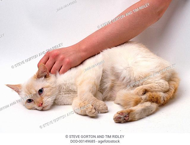 Hand stroking pale ginger cat on neck