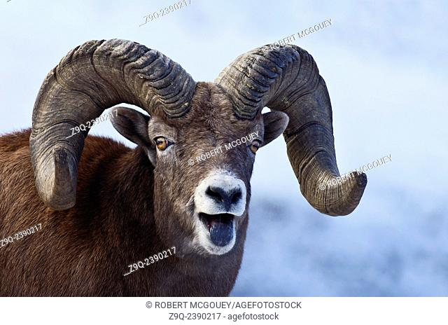 A close up facial portrait of a wild Bighorn Sheep Ovis canadensis, with expression and an open mouth showing a blackened tongue from licking coal mineral in...