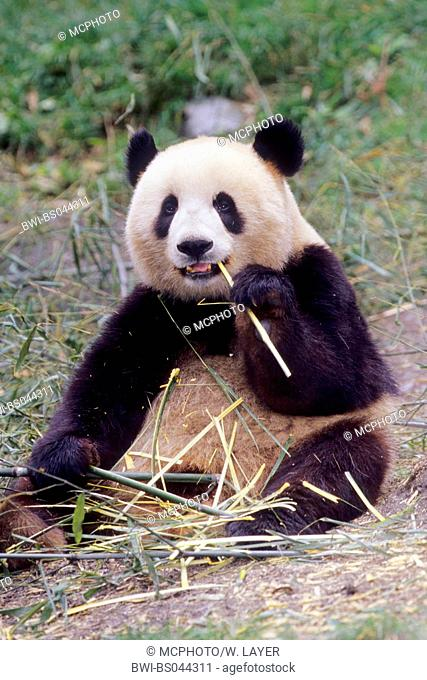 giant panda (Ailuropoda melanoleuca), two years old panda feeding bamboo in the research station of Wolong, national animal of China, China, Sichuan, Wolong