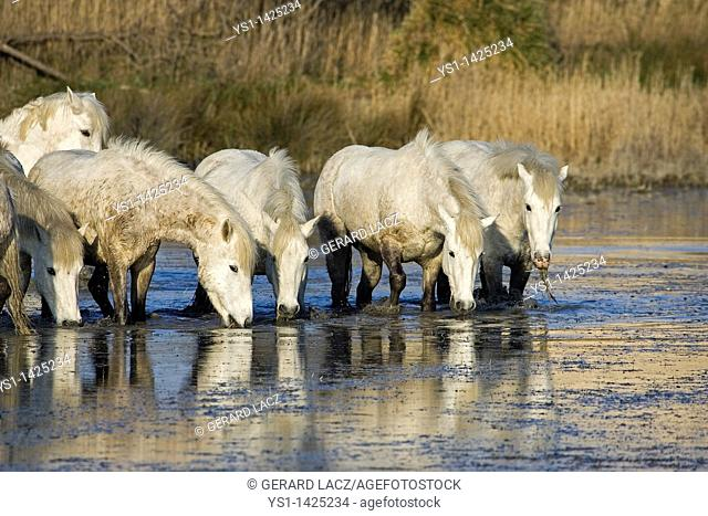 CAMARGUE HORSE, HERD DRINKING WATER, SAINTES MARIE DE LA MER IN THE SOUTH OF FRANCE