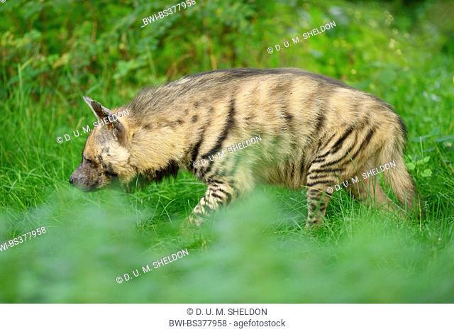 striped hyena (Hyaena hyaena), in outdoor enclosure