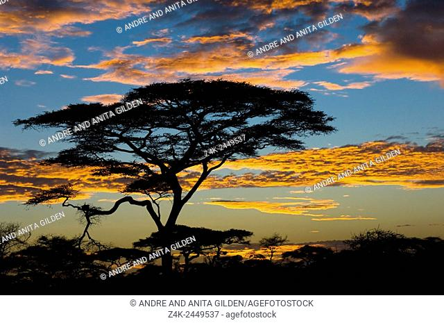 Umbrella Thorn ( Acacia tortilis) in orange light from sunrise