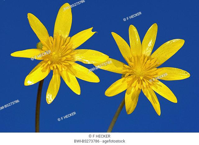 lesser celandine, fig-root butter-cup Ranunculus ficaria, Ficaria verna, two flowers on blue background, Germany