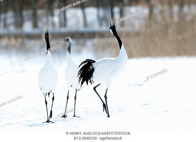 Japanese crane, Red-crowned crane, singing in love season (Grus japonensis), Japan