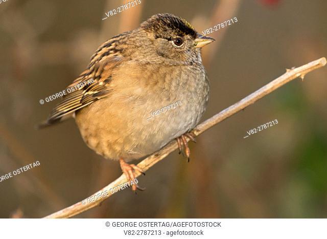 Golden-crowned sparrow, George C Reifel Migratory Bird Sanctuary, British Columbia, Canada