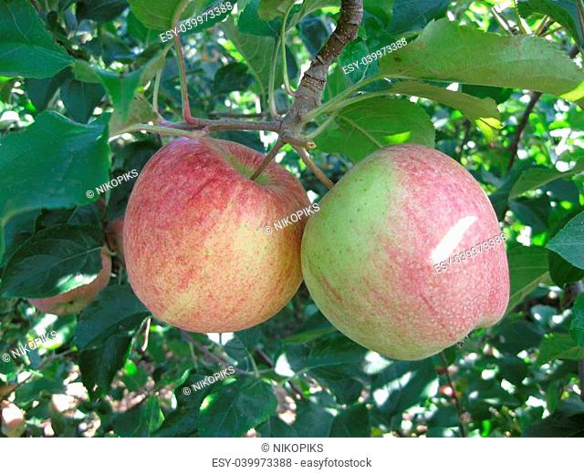 A pair of apples hanging from a tree