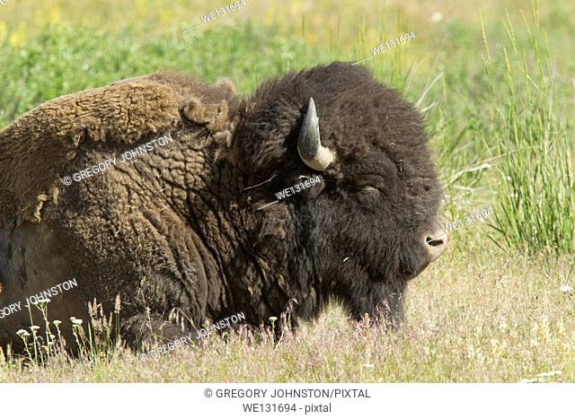 A closeup of a large buffalo at the National Elk and Bison Range in Montana