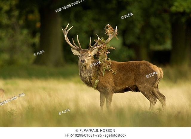 Red Deer (Cervus elaphus) stag, with bracken on antlers, during rutting season, Bradgate Park, Leicestershire, England, October