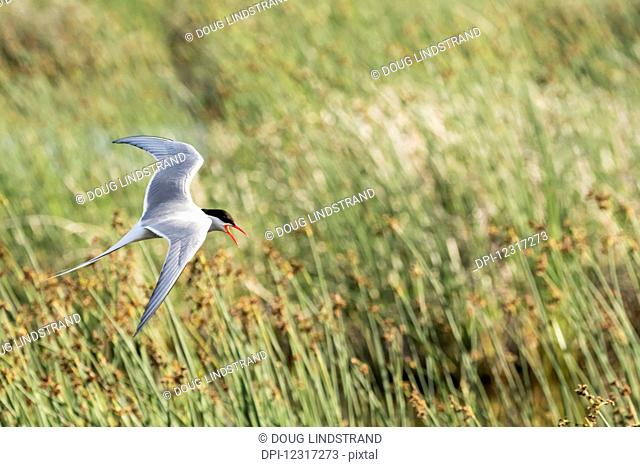Arctic tern (Sterna paradisaea) flies near it's nest in the Potter Marsh area, South of Anchorage, south-central Alaska; Alaska, United States of America