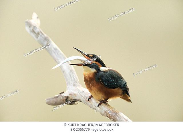 Common Kingfisher (Alcedo atthis), with a fish, Danube wetlands, Donau Auen National Park, Lower Austria, Austria, Europe