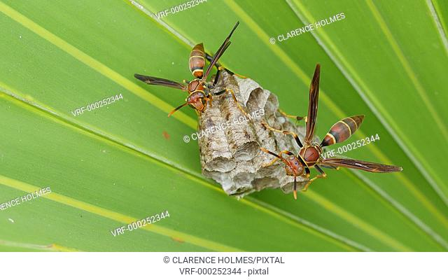 A group of Paper Wasps (Polistes exclamans) guard larvae and pupae in the chambers of their nest hanging from a Saw Palmetto frond