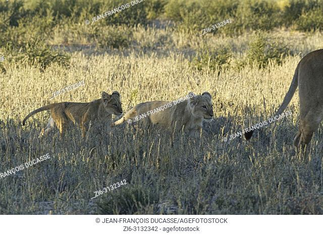 African lions (Panthera leo), two lion cubs in the dry grass, walking next to their mother, Kgalagadi Transfrontier Park, Northern Cape, South Africa, Africa