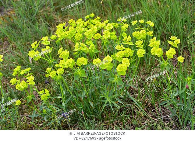 Serrated spurge (Euphorbia serrata) is an annual herb native to western Europe (specially in Iberian Peninsula) and northwestern Africa