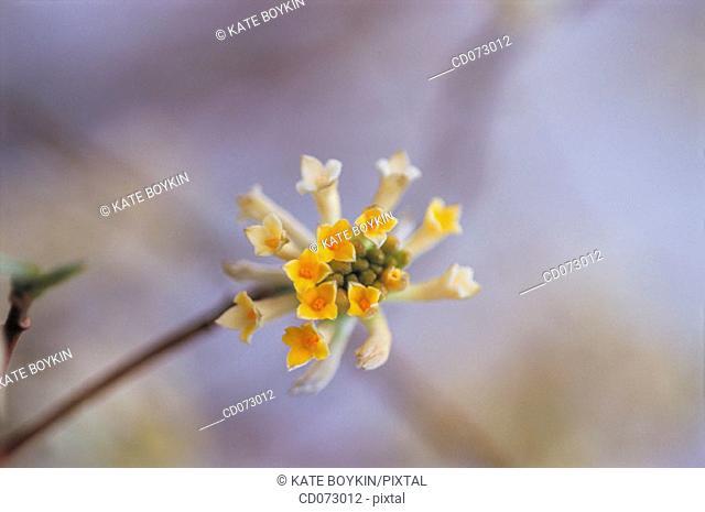Paper bush (Edgeworthia papyrifera)