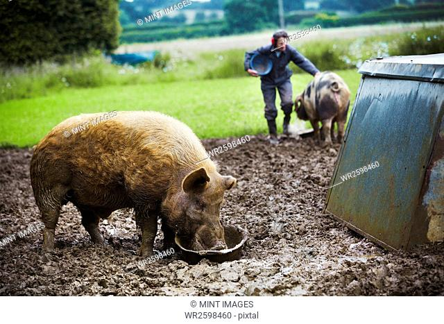 A pig eating from a bucket, a woman and a pig in the background