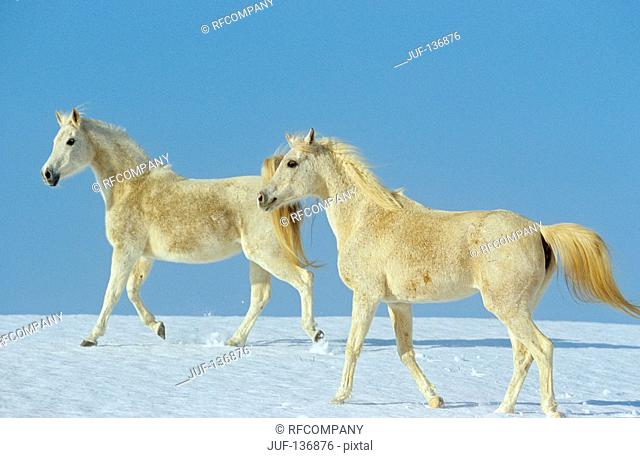 two young Arabian horses - walking in snow