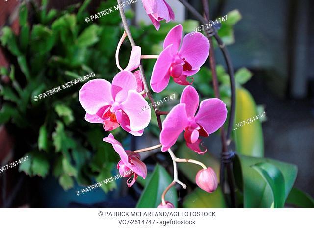 Orchid (Genus Phalaenopsis), Beaver Falls, PA, USA