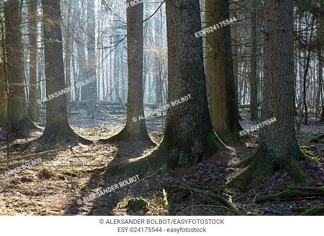Coniferous stand of Bialowieza Forest in morning with old spruces some lying broken in background,Bialowieza Forest,Poland,Europe