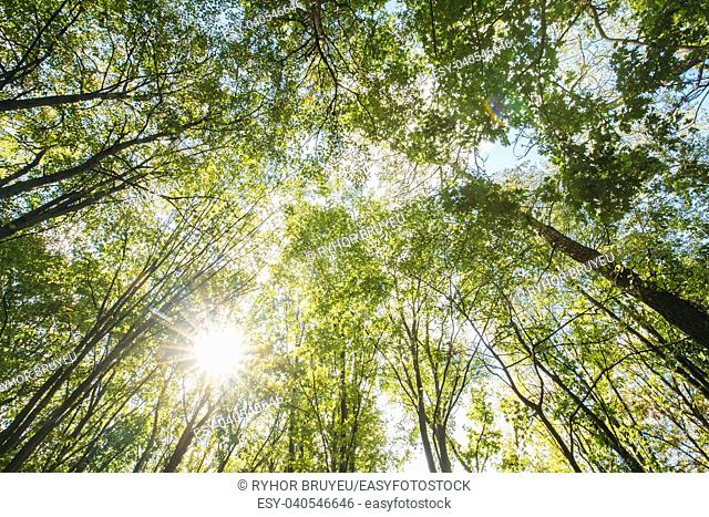 Sun Shining Through Canopy Of Tall Trees. Sunlight In Deciduous Forest, Summer Nature. Upper Branches Of Different Deciduous Trees Summer Background