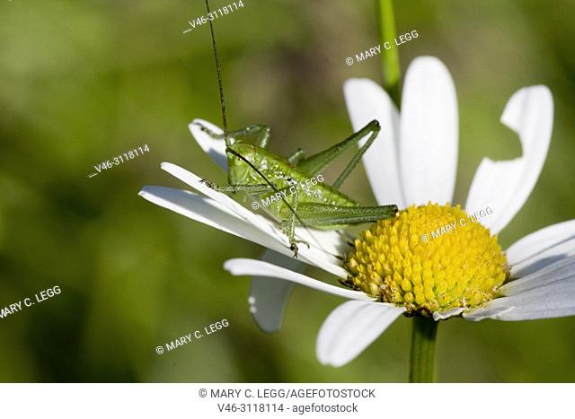 "Great Green Bush Cricket, Tettigonia viridissima. Adult size: 28â. ""36mm. Carnivorous, eating other insects and larvae. pest of field crops: wheat, barley, corn"