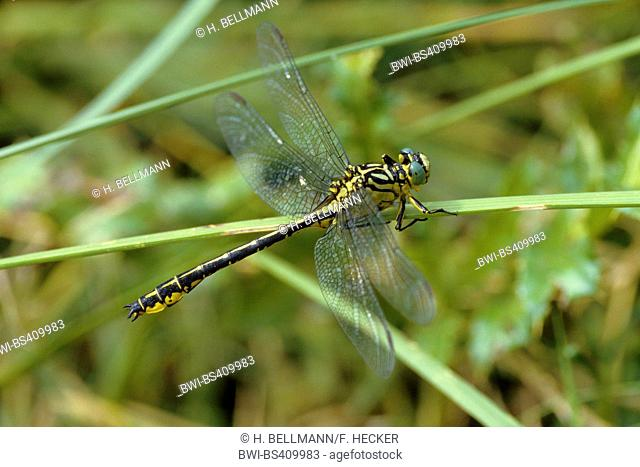 river clubtail, yellow-legged dragonfly (Gomphus flavipes, Stylurus flavipes), on a blade of grass