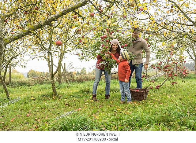 Family picking apples from apple tree in an apple orchard, Bavaria, Germany
