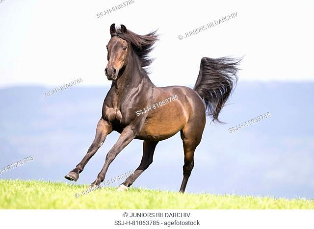 Morgan Horse. Bay gelding galloping on a pasture. Switzerland