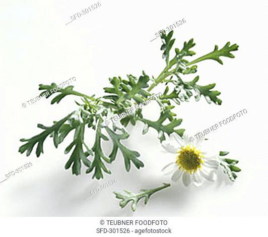 Scentless chamomile (Tripleurospermum perforatum/Matricaria mar