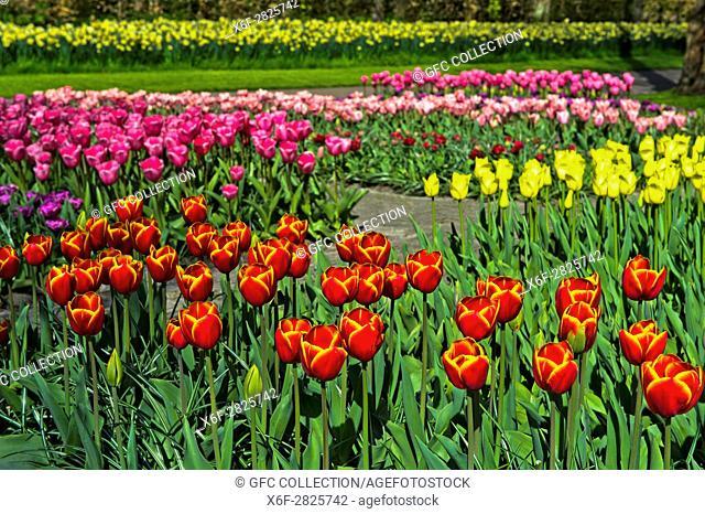 Blumenbeete mit holländische Tulpen, Blumenschau Keukenhof, Lisse, Niederlande / Flower beds with Dutch tulips, Keukenhof Flower Gardens, Lisse, Netherlands