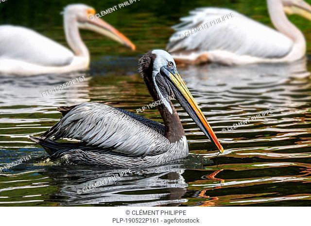 Peruvian pelican / Humboldt brown pelican (Pelecanus thagus) native to Chile and Peru