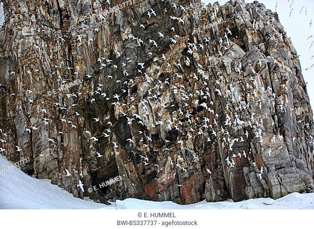 black-legged kittiwake (Rissa tridactyla, Larus tridactyla), many gulls on a bird rock and in flight, Canada, Nunavut, Bylot-Island