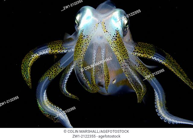 Bigfin Reef Squid (Sepioteuthis lessoniana) at night at Critters@Baengabang dive site in Pantar near Alor in eastern Indonesia