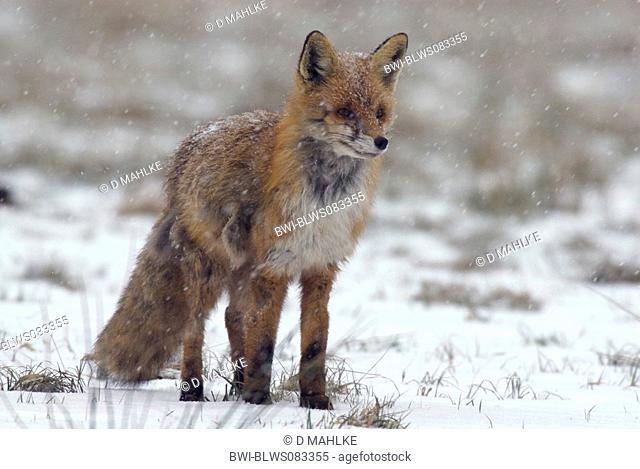 red fox Vulpes vulpes, red fox with scabies, Poland, Masuria, Krutyn