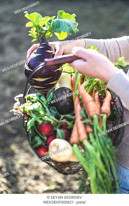 Woman's hands holding wire basket with root vegetables