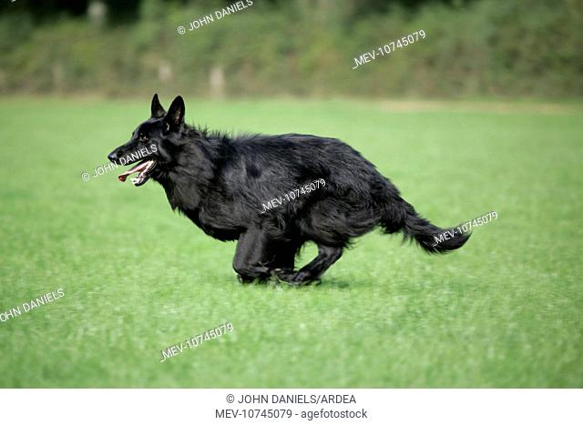 German Shepherd Dog - running in field