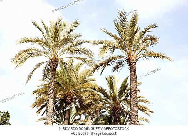 Palms at the Turia's old river bed. Valencia, Spain