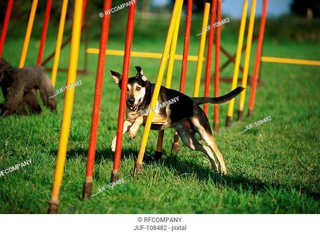Agility : half breed dog - running through poles