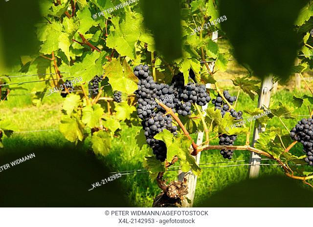 grapes, Austria, Burgenland