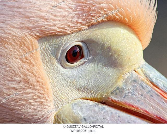 Pelican head close range